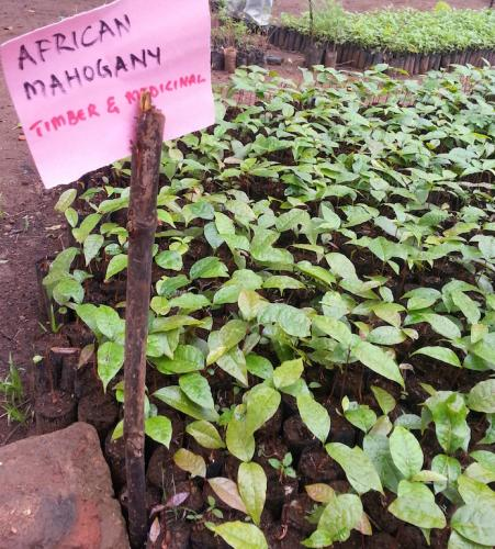African mahogany at nursery