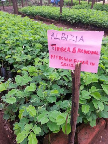 Albizia at tree nursery